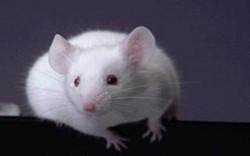 Създадоха мишка, устойчива на всички видове рак