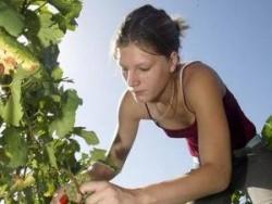 Набират гроздоберачи за Испания