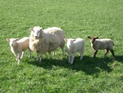 9 овце са дарени за курбана в Зелинския  манастир