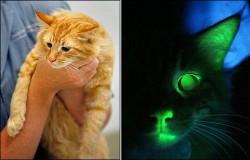 Учени създадоха светеща котка