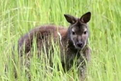 Младо кенгуру се появи мистериозно във Франция