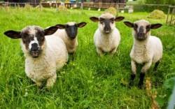 "Задържаха 5 души и 5 овце в един ""Фиат"""