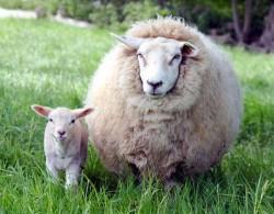 Стопаните, отглеждащи овце и кози , трябва да представят доументи за държавна субсидия