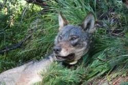 Пет вълка убиха днес в Литаково