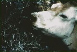 Умрели крави изхвърлени в полето