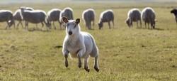 34 !!! овце са загинали при сблъсък с лек автомобил