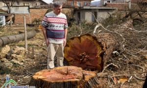 Най-уникалните дървета в Ботевград – унищожени!
