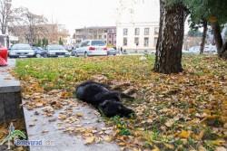 Отново отровено куче в центъра на Ботевград?