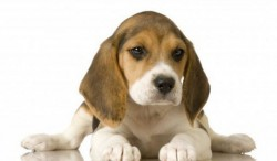 Общината ще осигури безплатни микрочипове за домашните кучета