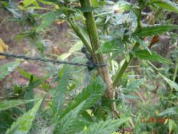 Откриха канабис, засаден в землището на Община Ботевград