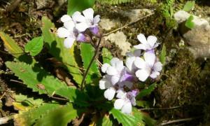 Валериана, бял риган и мечо грозде са сред забранените за събиране 24 лечебни растения