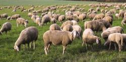 МЗХГ: Заповедите на директора на БАБХ за обявяване на чумата по дребните преживни преживни животни са законосъобразни