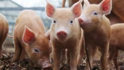 БАБХ с важни съвети за Африканската чума по свинете