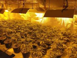 """Оборудвана наркооранжерия е разкрита при съвместна операция на служители на ОДМВР - София и Агенция """"Митници"""""""