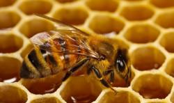 Франция забрани петте неоникотиноидни пестициди, които убиват пчелите