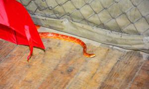 Змията, която се крие в читалището, е царевичен смок, характерна е за  Северна Америка