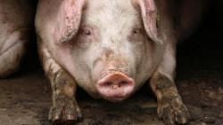 Ще компенсират стопаните, доброволно умъртвили прасетата си
