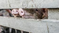 166 стопани от Врачеш ще получат обезщетение за умъртвените си прасета