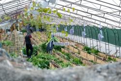 Огромна оранжерия  за канабис край Ботевград