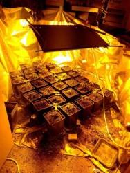 Наркооранжерия в апартамент в Ботевград бе разкрита при спецакция на криминалистите от РУ - Етрополе и ОДМВР - София