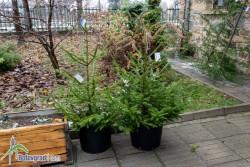 Живи елхи на цена 30 и 36 лева продават в Горското