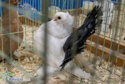 """Новочеркаски гълъб стана носител на приза """"Грант шампион"""""""