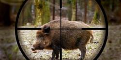 Удължава се срокът за групово ловуване на дива свиня до края на януари