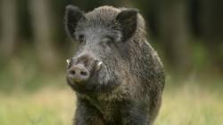 Удължава се срокът за групов лов на дива свиня, съгласно постъпили предложения от ЦОРХВ и БАБХ