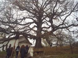 Вековният дъб в Скравена се нуждае от спешни спасителни мерки