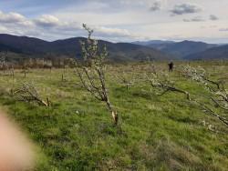 Над 1500 сливови дървета вандалски изсечени