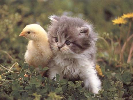 коте и пиленце