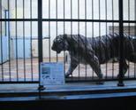 тигар