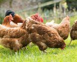 Близо 90 хил. птици са унищожени заради констатираните 4 огнища на инфлуенца